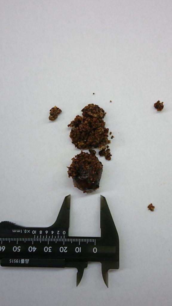 ヒョウモントカゲモドキの腸閉塞手術で摘出した床砂と便